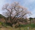 千女房の山桜(みやこ町)
