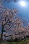 桜の木の下で(八幡西区城山)