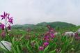 シラン(小倉南区 平尾台)