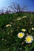 白花たんぽぽ(豊前市)