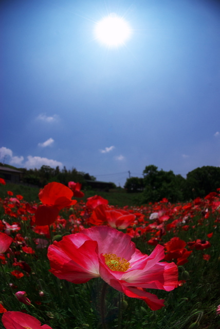 太陽と芥子(小倉南区)