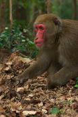 どんぐりを頬張る野猿