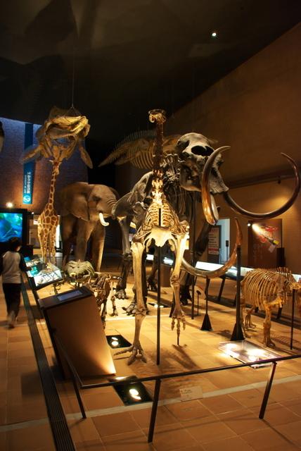 モアほか骨格標本(いのちのたび博物館)