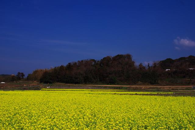 3号線沿いの菜の花畑