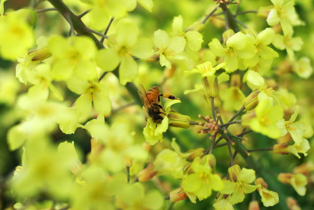 ブロッコリーの花?とミツバチ(みやこ町)