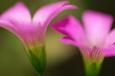 紫カタバミ(八幡東区高見)-01