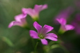 紫カタバミお寺の庭で(八幡東区祇園町)