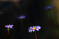 菊科の花-01(直方市)