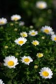 菊科の花(直方市)