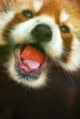 レッサーパンダ「食事中」(到津の森公園)