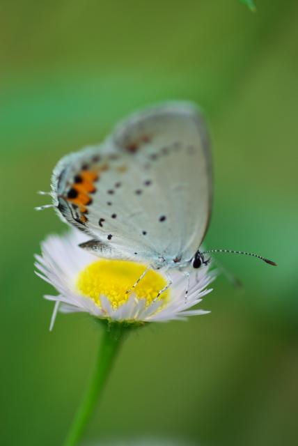 シジミ蝶(八幡東区河内)