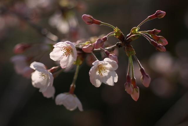 桜(戸畑区夜宮公園)-01