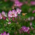 レンゲとミツバチ-02