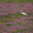 レンゲ畑とダイサギさん-01