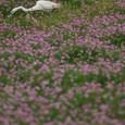 レンゲ畑とダイサギさん-02
