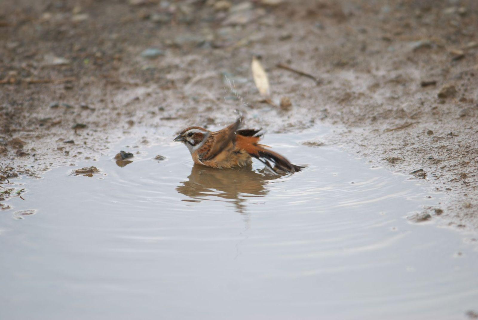 水浴び中のホオジロさん-01