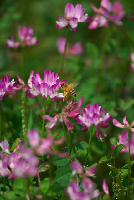 レンゲとミツバチ-00