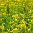 菜の花(豊津町)