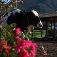 山茶花と乳牛(直方市)