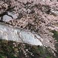 小倉城(桜)-02