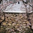 小倉城(桜)-04
