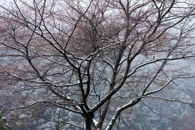 冬の桜(直方市)