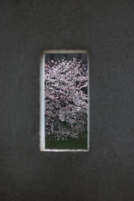 小倉城(桜)-05